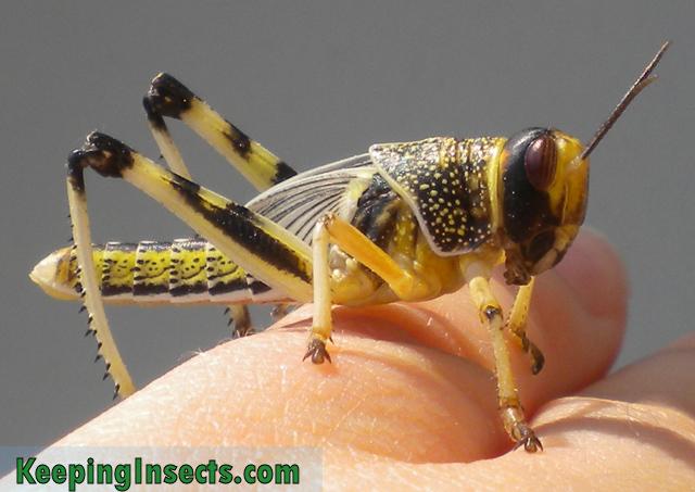 Schistocerca gregaria langosta