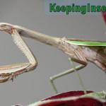 mantis-chino