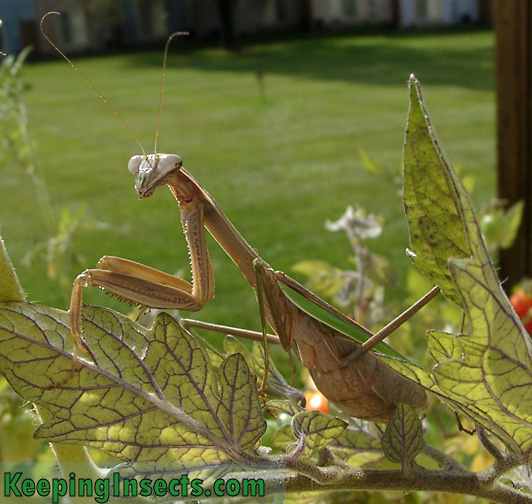 Mantis chino - hembra