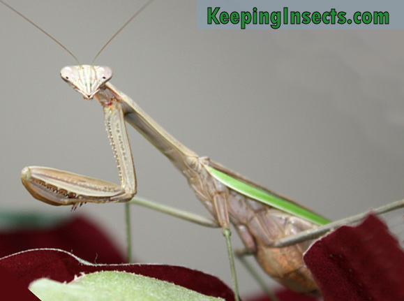 mantis-chino2