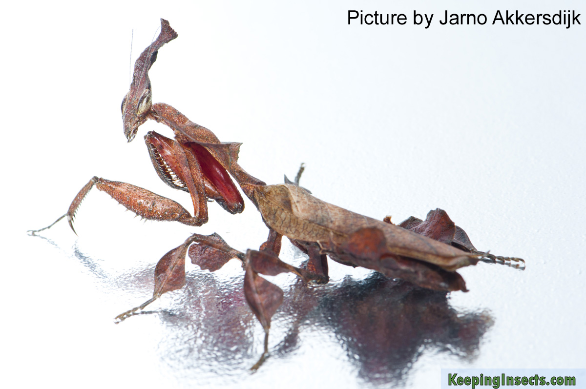 adult-female-ghost-mantis