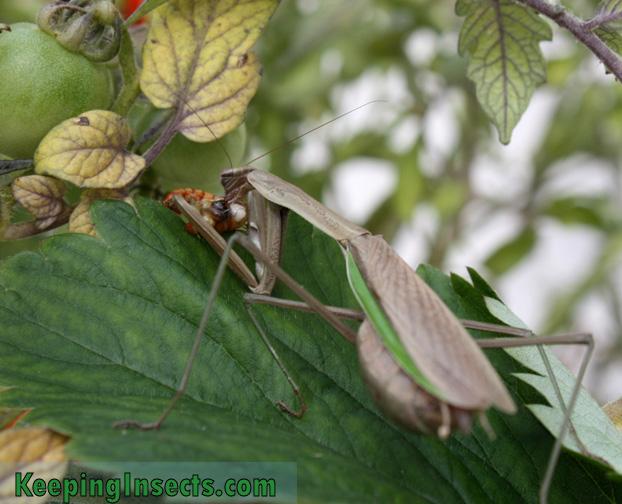 wild-chinese-mantis