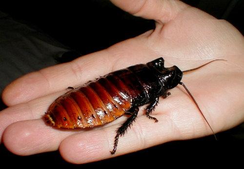 cucaracha de Madagascar - Gromphadorhina portentosa