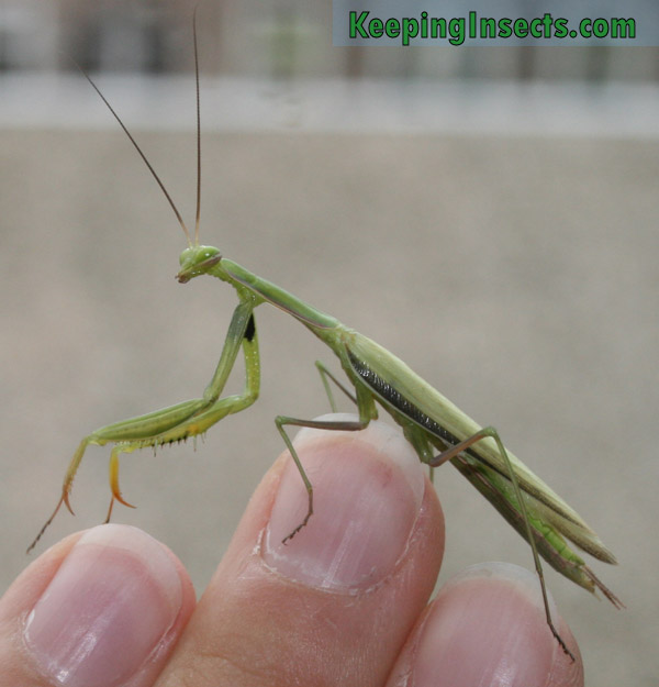 Mantis religiosa - macho adulte