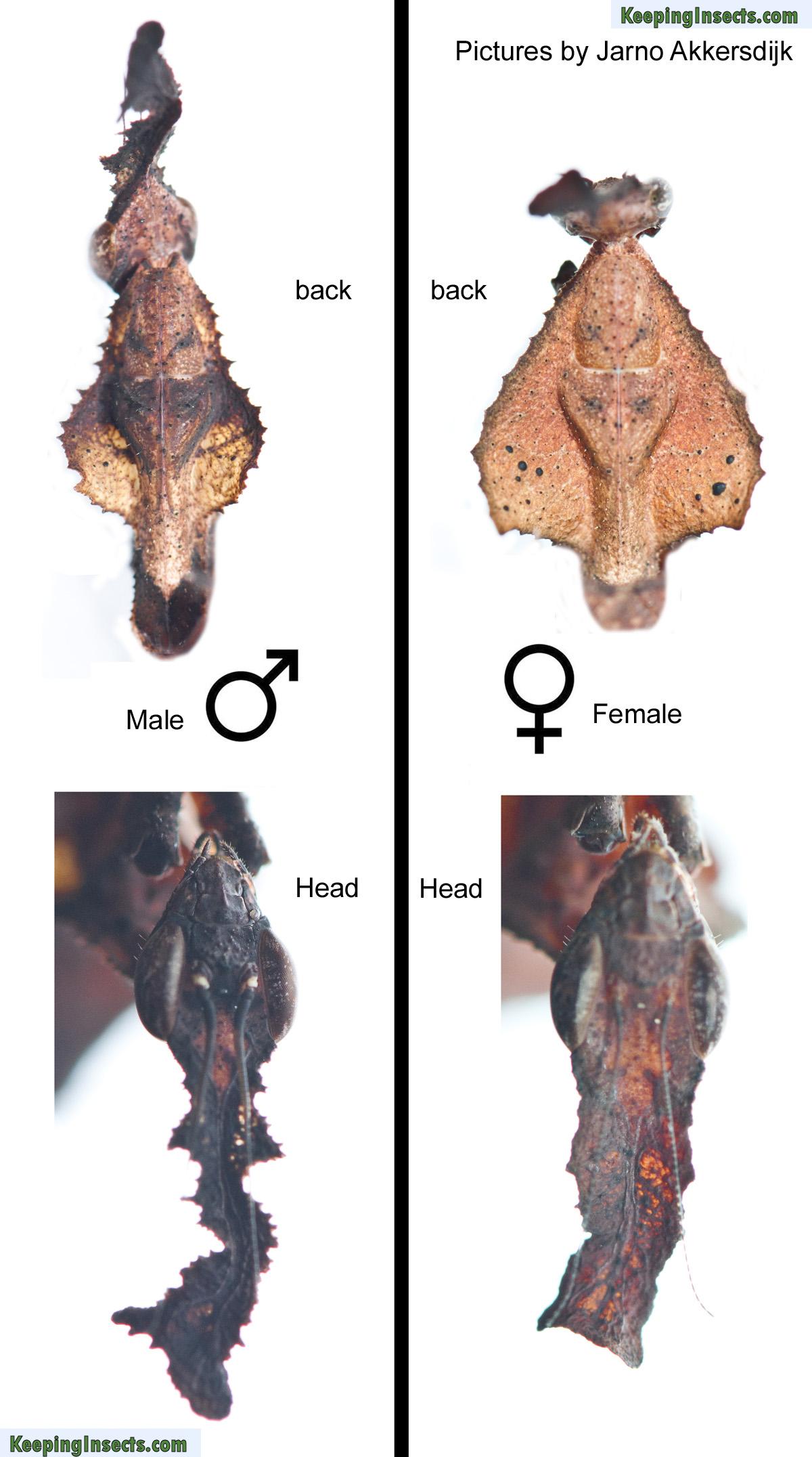 male-female-mantis